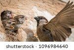 Isolated House Sparrow Feeding...