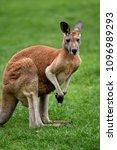 Kangaroo Australian Red And...