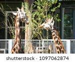 beautiful animals giraffes in...   Shutterstock . vector #1097062874