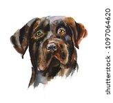 chocolate labrador retriever.... | Shutterstock . vector #1097064620