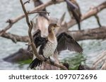 African Darter Sitting On A...