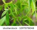 the plant leaves marijuana ... | Shutterstock . vector #1097078048