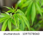 the plant leaves marijuana ... | Shutterstock . vector #1097078060