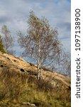 birch on a stony mountain slope.... | Shutterstock . vector #1097138900