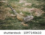 large wild iguana roaming free... | Shutterstock . vector #1097140610