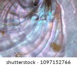 French Abalone Shell