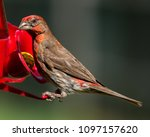 house finch with identity crisis   Shutterstock . vector #1097157620