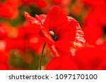 Close Up Of A Red Poppy On A...