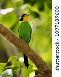 long tailed broadbill with... | Shutterstock . vector #1097189600