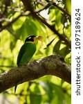 long tailed broadbill with a... | Shutterstock . vector #1097189624