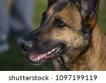 malinois shepherd dog portrait | Shutterstock . vector #1097199119
