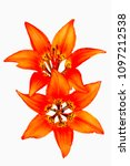Small photo of Wildflowers Rocky Mountain Lily or Wood Lily, closeup