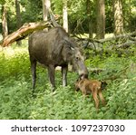 elk cow with child in the... | Shutterstock . vector #1097237030