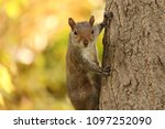a squirrel on a tree in dc | Shutterstock . vector #1097252090
