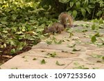 a squirrel in dc | Shutterstock . vector #1097253560