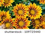 Gazania Flower Native To South...