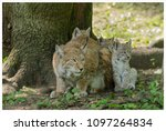 a northern lynx in the forest | Shutterstock . vector #1097264834