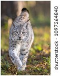 a northern lynx in the forest | Shutterstock . vector #1097264840