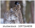 a northern lynx in the forest | Shutterstock . vector #1097264858
