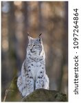 a northern lynx in the forest | Shutterstock . vector #1097264864