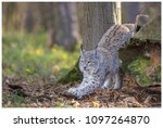 a northern lynx in the forest | Shutterstock . vector #1097264870