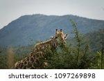 close up of a giraffe  giraffa  ...   Shutterstock . vector #1097269898