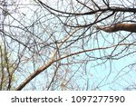 low angle view of branches... | Shutterstock . vector #1097277590