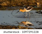 an american avocet and... | Shutterstock . vector #1097291228