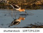 an american avocet and... | Shutterstock . vector #1097291234