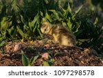 a cute baby canada goose gosling | Shutterstock . vector #1097298578