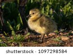 a cute baby canada goose gosling | Shutterstock . vector #1097298584
