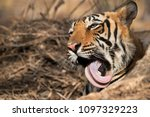 tiger taking out its tongue ... | Shutterstock . vector #1097329223