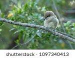 a fledgling fiscal shrike... | Shutterstock . vector #1097340413
