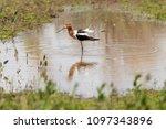 american avocet  washoe valley  ... | Shutterstock . vector #1097343896