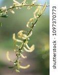 Risen Blooming Inflorescences...