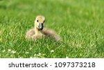 gosling greylag goose x canada... | Shutterstock . vector #1097373218