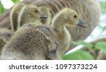 gosling greylag goose x canada... | Shutterstock . vector #1097373224
