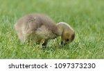 gosling greylag goose x canada... | Shutterstock . vector #1097373230