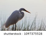 great white egret standing in a ... | Shutterstock . vector #1097375528