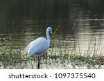 great white egret wading in the ... | Shutterstock . vector #1097375540