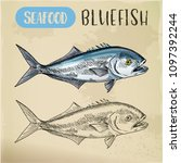 seafood sketch of bluefish or... | Shutterstock .eps vector #1097392244