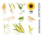 set of isolated harvest stems... | Shutterstock .eps vector #1097392250