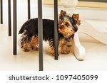 Little Cute Yorkshire Terrier...