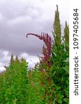 Small photo of Red green quinoa field plant andean highlands, Bolivia, South America