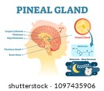 pineal gland anatomical cross... | Shutterstock .eps vector #1097435906