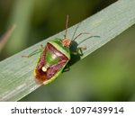 Small photo of Basana Stink Bug (Banasa dimidiata)