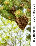Small photo of Bee swarm looking for a permanent home in Colorado, USA