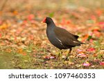 Close Up Picture Of Moorhen.