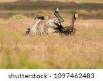 horse play  wild horse rolling... | Shutterstock . vector #1097462483