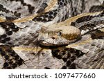 Venomous Timber Rattlesnake (Crotalus horridus) with forked tongue